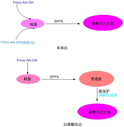 蛋白质磷酸化在细胞信号转导中的作用(专肽生物www.allpeptide.com)