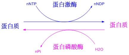 磷酸化的作用(专肽生物www.allpeptide.com)